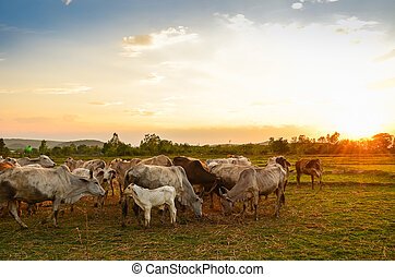 Cow grazing in a sunset meadow in Thailand.