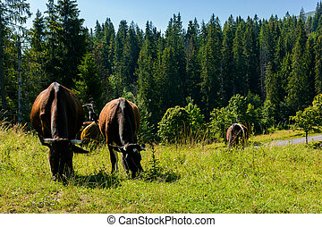 cow grazing in a tall grass near the forest. beautiful...