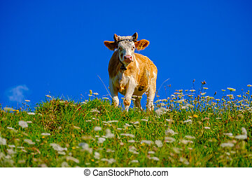 Cow grazing in alpine meadow at summer