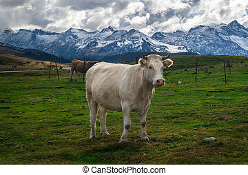 Cow grazing in high mountain meadows - Cows and wild horses...