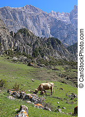 Cow grazing in the highlands of North Ossetia.