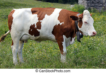 cow grazing in the meadow in the mountains 1 - red and white...