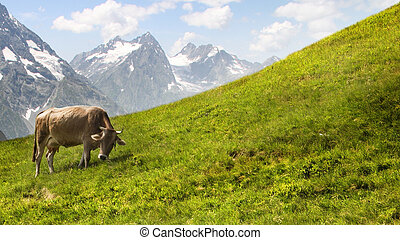 Cow grazing in the mountains. - Cow in the alpine mountains.