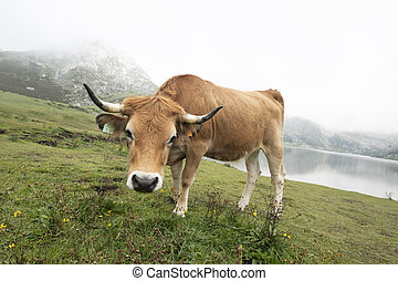 cow grazing looking at camera in a mountainous Asturian landscape with lake behind