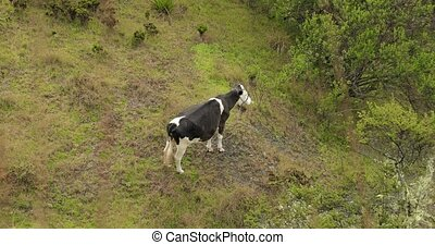 Cow grazing on a mountain field - Cow grazing the fresh ...