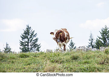 Cow grazing on a mountain pasture
