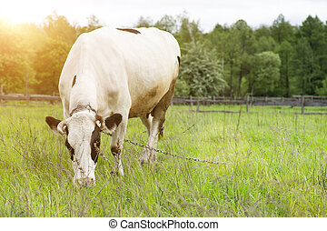 Cow grazing on a spring pasture.