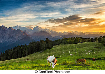cow grazing on alpine meadow