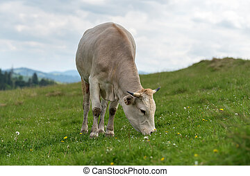 Cow grazing on meadow in mountain