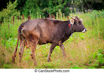 cow grazing on meadow in mountains.