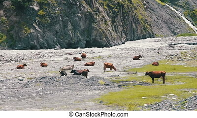 Cow Grazing On Mountain Pasture near the Mountain Stream