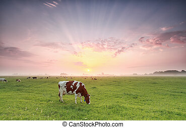 cow grazing on pasture at dramatic sunrise