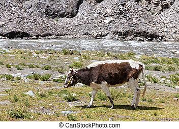 Cow grazing on the Tibetan plateau near a river