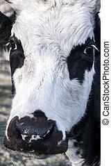 Cow head closeup