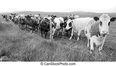 A lot of curious cows staring at the camera (Iceland). (Artistic Graininess)