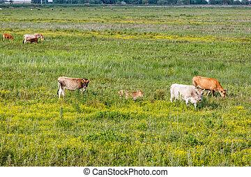 Cow herd in the meadow
