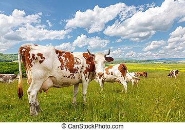 Cow herd on summer field - Cow herd grazing on summer field