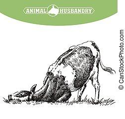 cow., ilustración, blanco, ganado, husbandry., crianza, ...