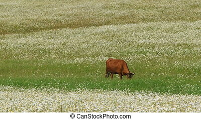 Cow in a chamomile field