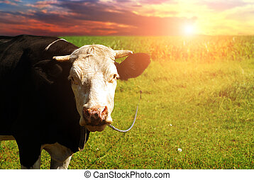 Cow in a grassy field against a sky with sunset