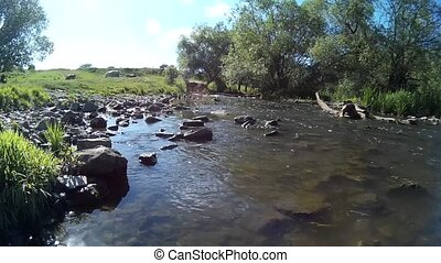 Cow in a river Khmelnytskyi Ukraine - Cow drinking water in...
