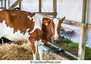 Cow in a stable with hay