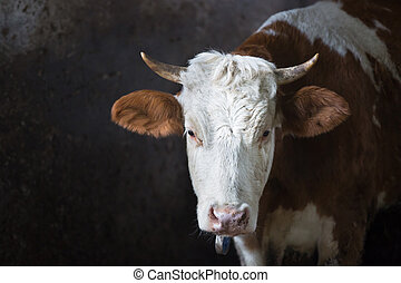 Cow in a stall on a farm