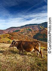 Cow in alpine landscape