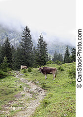 cow in Alps on foggy meadow