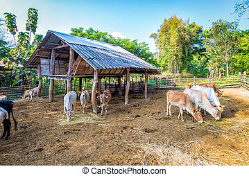 cow in corral fence wood - livestock in thailand cow eating...