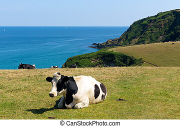 Cow in field and coast of Cornwall