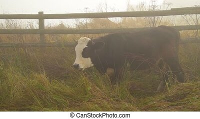 Cow in fog on pasture - Black and white cow in fog, grazing...
