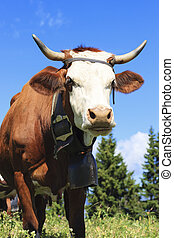 cow in french alps