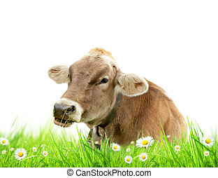 Cow in grass - Alpine cow in meadow, isolated on white ...
