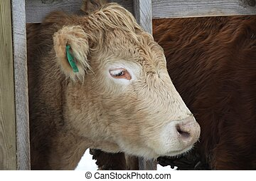 Cow in Holding Pen