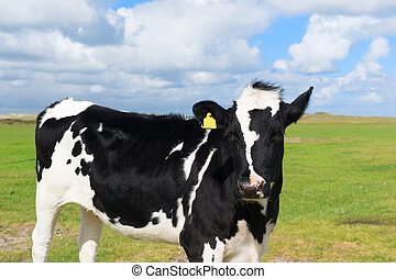 Cow in Holland