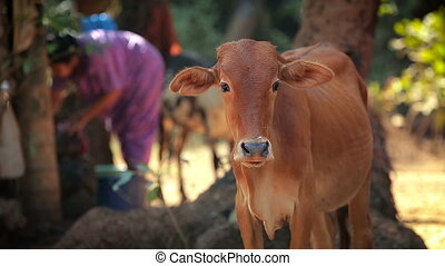 Cow in indian countryside household