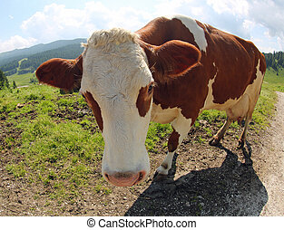 cow in mountain by fish eye lens