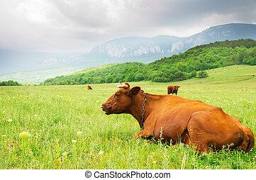 Cow in mountain meadow meadow.
