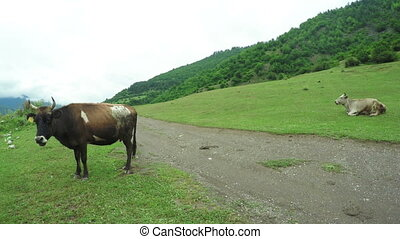 Cow in mountains