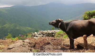 Cow in pasture at Himalayas Mountains, Nepal