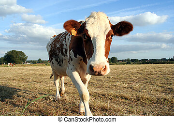 Cow in pasture - cow in pasture