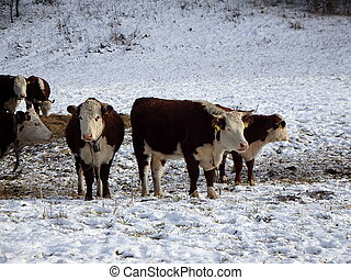 cow in snow landscape, cow grazing in the snow,