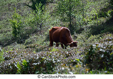 Cow in tea bushes