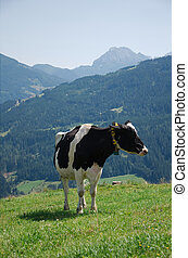 Cow in the Austrian Alps