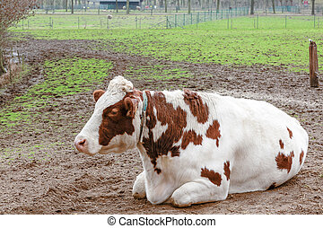 cow in the field - an cow whit brown stips on the skin ly...
