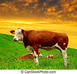 Cow in the meadow at sunset