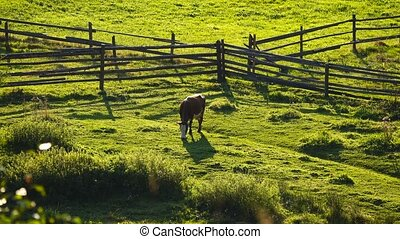 cow in the meadow at the farm