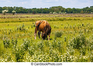 Cow in the meadow