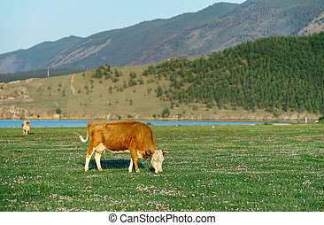 cow in the nature reserve of Lake Baikal